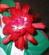 "Epiphyllum, Orchid Cactus, "" Pete'S Axcell "" , Don's Quart pots"