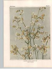 1934 Wildflower Book Plate Bladder Campion Spring Beauty Hepatica