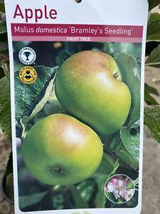Apple tree 'Malus Bramley Seedling' 4-5ft 2 year old English Grown fruit tree