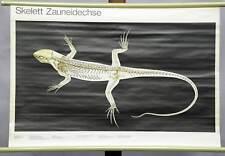 vintage biological wall chart, animals, amphibians, skeleton, sand lizard