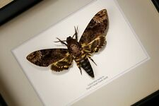 Death's-head Hawk moth ( Acherontia lachesis )  real framed butterfly  insect
