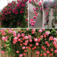 100pcs Climbing Rose Seeds Perennial Flower Garden Decor Home Plant in 4 Colours