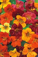 Nasturtium Whirlybird Mix - Tropaeolum - 80 seeds - HH Annual