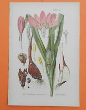 Herbst-Zeitlose (Colchicum autumnale) GIFTPFLANZE  THOME Lithographie 1890