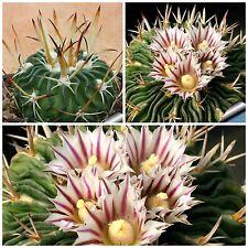 50 semi di Echinofossulocactus pentacanthus ,piante grasse,seeds cactus