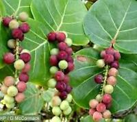 """Sea grape Coccoloba uvifera, Live Plant in 10"""" pot. Planta, Plantes."""