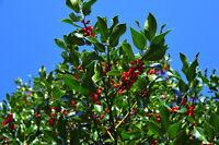 ** Die Zweige der Stechpalme werden gerne in Blumengestecken verwendet.