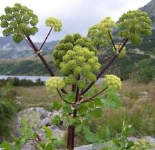 Angelica archangelica - Umbel, Umbellifer Plant in 9cm Pot
