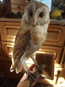 OWL Bird Taxidermy Pre 1944