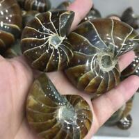 Natural Ammonite Shell Fossil Specimen Conch Quartz Crystal Shell Healing Reiki