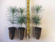 "3 Japanese Black Pine - 4""- 6"" Tall Seedlings - Great Bonsai or Shade Tree"