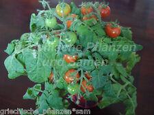 zimmertomate Pearl tomates Cerise pour pot 10 graines très rare balcon seau