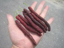 Mulberry fruit tree seeds FRUCTUS MORI seeds Morus 20 seeds