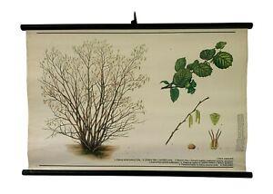 Botanical Wall Decor, Vintage Hazel tree pull down,Deciduous trees Botanical Map