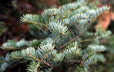 Abies alba - European Silver Fir - Outdoor or Bonsai - 20 Fresh Seeds