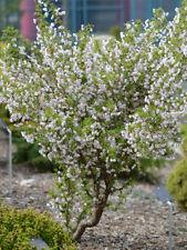 prunus incisa kojo no mai pot 3 litres cerisier à fleur nain du japon