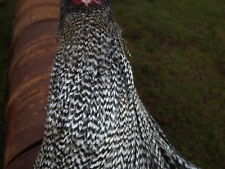 45 small barred plymouth rock, chevron cock hackles,  fly tying, brown trout.