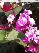 Purple Hyacinth Bean Seeds Nice Vine Privacy