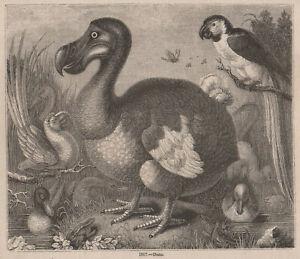 ANTIQUE 1845 PRINT DODO MAURITIUS EXTINCT BIRD DARWIN EVOLUTION ISLAND PARROT