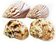 Set of 4 Natural Hermit Crab Changing Shell Set Medium/Large Select Turbo +