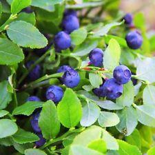 Blueberry (Vaccinium Myrtillus)- 50 Seeds- Bogo 50% off Sale