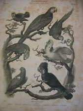 Antique Sydenham Edwards Ornithology ( Parrots ) Engraving, circa 1810