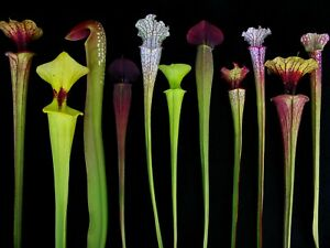 Sarracenia offer 10 plants + Free Venus Fly Trap from Chelsea Gold Medalist