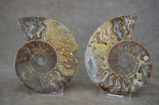 Cut and Polished Ammonite Pair Mahajanga Province (Majunga), Madagascar
