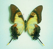 EURYTIDES DOLICAON  X EURYTIDES SERVILLE *HYBRID RARITY* male from PERU