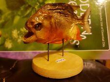 Taxidermy Mount Piranha Fish Peru Amazon River Amazing!