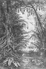 COLOMBIA - RIVER MAGDALENA: FICUS & NESTS of CACIQUES - Engraving from 19th c.