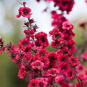 NEW ZEALAND TEA TREE SEEDS LEPTOSPERMUM SCOPARIUM POT FLOWER HONEY 500 SEED PACK