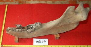 WR04 Coelodonta antiquitatis WOOLLY RHINOCEROS MANDIBLE JAWBONE TEETH TOOTH