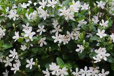 Wunderschöne Zimmerpflanze: der exotische Jasmin Duftet herrlich !