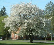 1,000 Black Cherry Tree Seeds, Prunus serotina, Free Shipping, Cherry Seeds