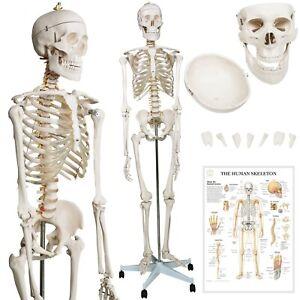 Jago® Menschliches Skelett 181,5 cm Lebensgroß Anatomie Modell Lehrmodell