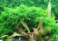 Live Xmas Moss - Live Aquarium Plant Fish Fern Tank Java Q, Fish Tank Decor
