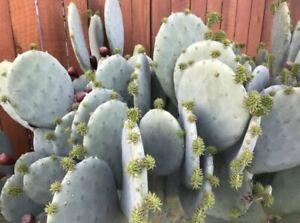 Opuntia cacanapa ellisiana - blue spineless prickly pear Cactus 25 Seeds