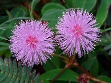 FLOWER MIMOSA PUDICA SENSITIVE PLANT  1.5 GRAM ~ 300 SEEDS