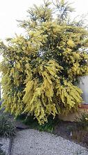 Acacia pravissimaa (10 graines)