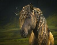 ICELAND HORSE  14X11 beautiful blonde mane icelandic breed art print