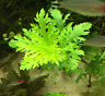 Hygrophila Difformis Bunch Water Wisteria B2G1 Live Aquarium Plants Decorations