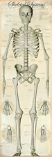 HUMAN BODY SKELETAL SYSTEM DOOR POSTER (53x158cm) MEDICAL CHART BONES PICTURE