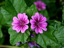 Common Mallow Seed Purple Cut Flower Adaptable Frost Tolerant Malva sylvestris