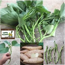 White Sweet Potato (Ipomoea Batatas)4 Stem Cuttings With Roots And Tiny Buds