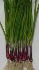 Cipolla viola (Tropea) 300 semi