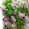 50Pcs 24 Colors Clematis Mixed Climbing Plants Seeds Flower Home Garden Decor