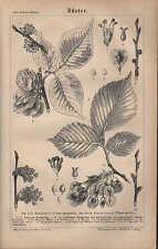 Lithografie 1878: Rüster - Ulme Feldrüster Ulmus campestris Ulmus laevis