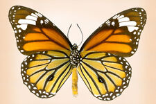 Tiger Common Buterfly Art  by Richard Reynolds Canvas Giclee Museum Wrapped