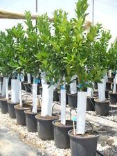 Orangenbaum, Citrus - sinensis  naranjo, Verschiedene Sorten ca. 130-150cm hoch